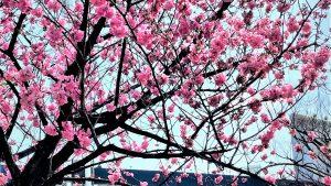ハマスタ桜W